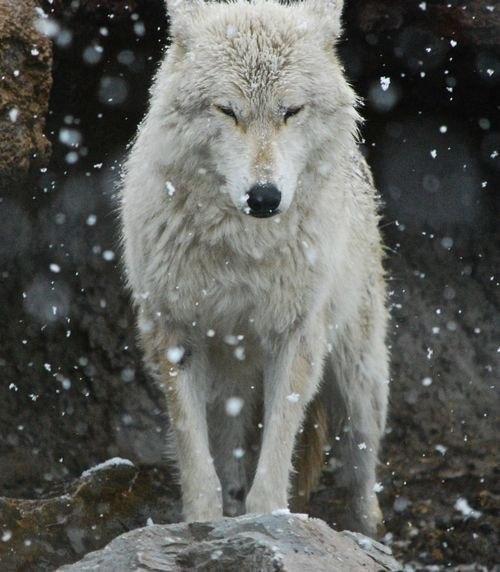 Скачать фото волка бесплатно 5
