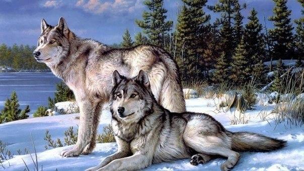 Скачать фото волка бесплатно 6