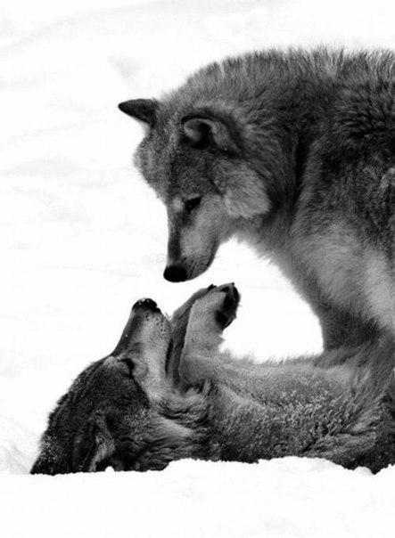 Скачать фото волка бесплатно 8