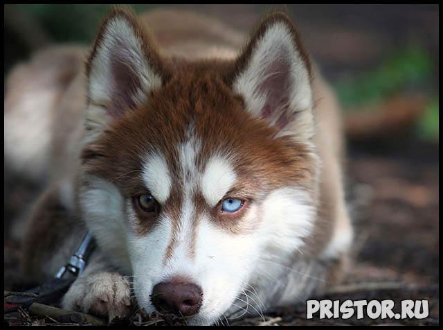 Фото хаски с голубыми глазами, голубоглазые хаски - подборка фото 13
