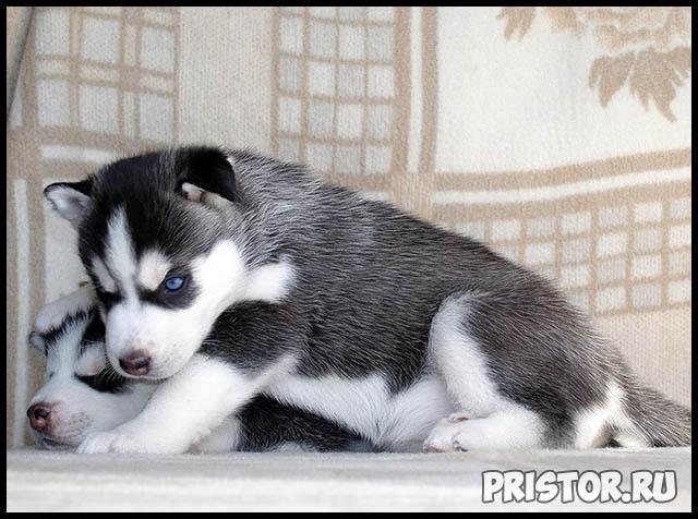 Фото хаски с голубыми глазами, голубоглазые хаски - подборка фото 15
