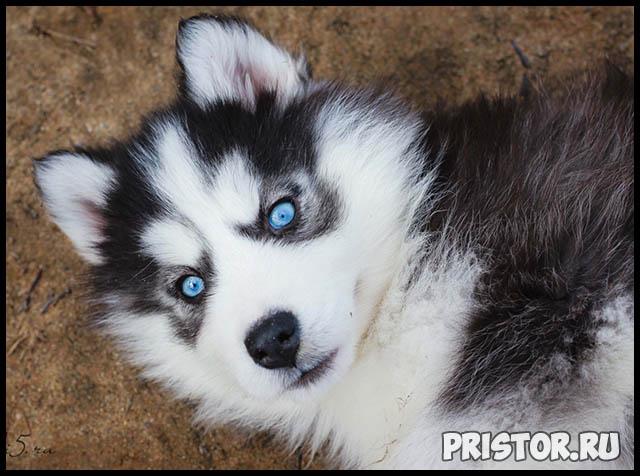Фото хаски с голубыми глазами, голубоглазые хаски - подборка фото 3