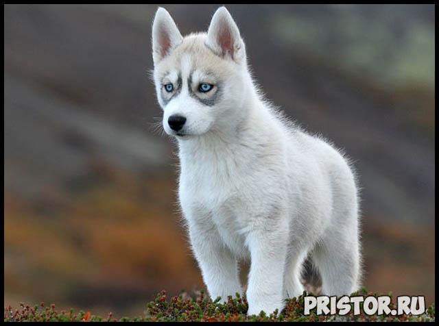 Фото хаски с голубыми глазами, голубоглазые хаски - подборка фото 4