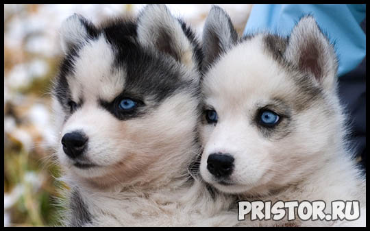 Щенки Хаски и собака породы Хаски - фото смотреть бесплатно 7