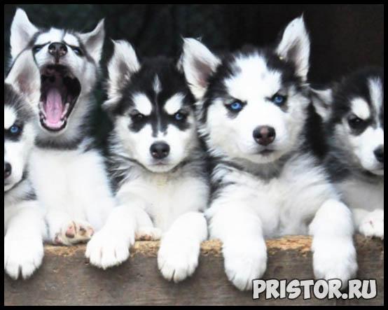 Щенки Хаски и собака породы Хаски - фото смотреть бесплатно 9