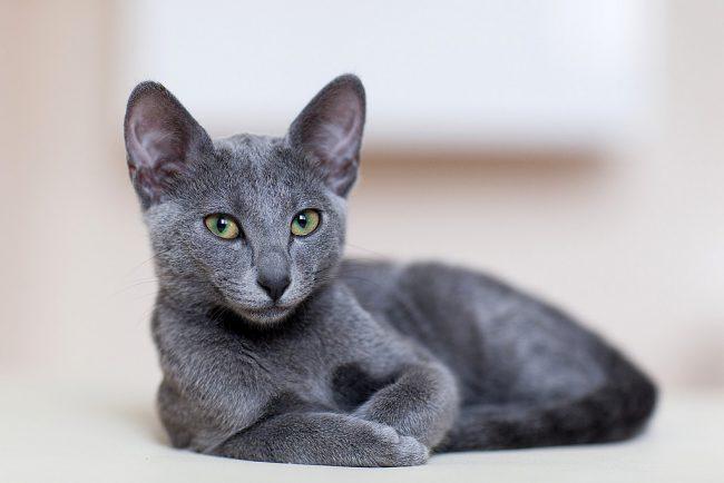 Порода кошек Русская голубая - фото, описание, характер, уход 1