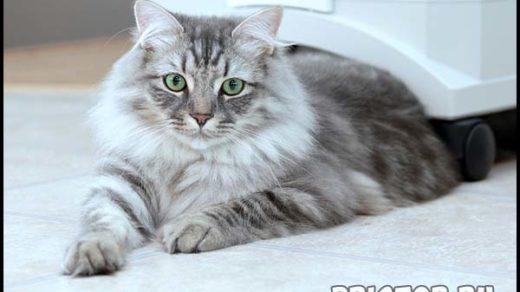 Сибирская кошка - описание породы, фото, содержание и уход 3