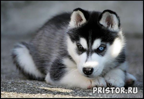 Порода собак Хаски - фото прикольные, красивые 10