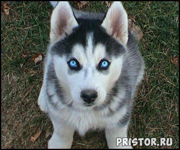 Порода собак Хаски - фото прикольные, красивые 6