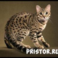 Порода кошек бенгальская - фото, описание, уход, характер 3