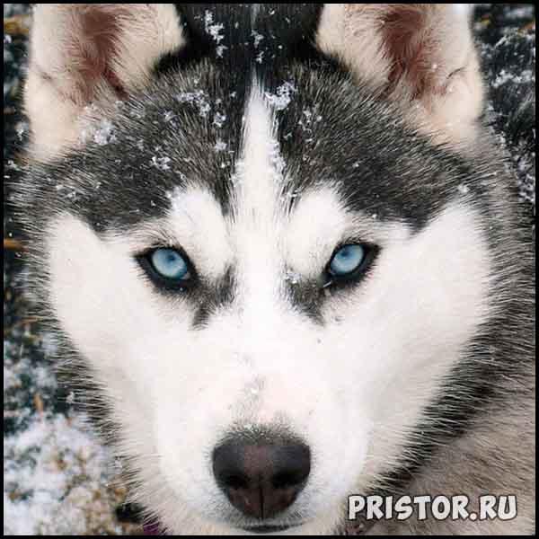 Порода собак Хаски - фото прикольные, красивые 7
