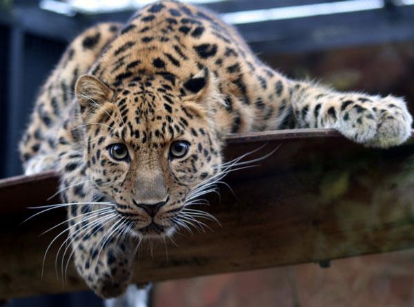 Дальневосточный леопард - животные красной книги