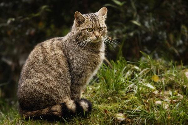Дикий лесной кот - животные красной книги