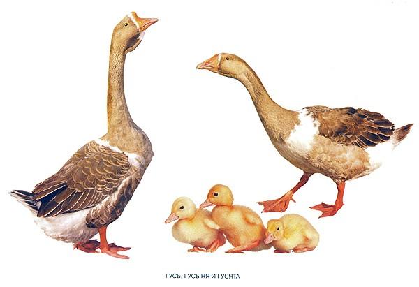 Домашние птицы - картинки для детского сада смотреть бесплатно 2
