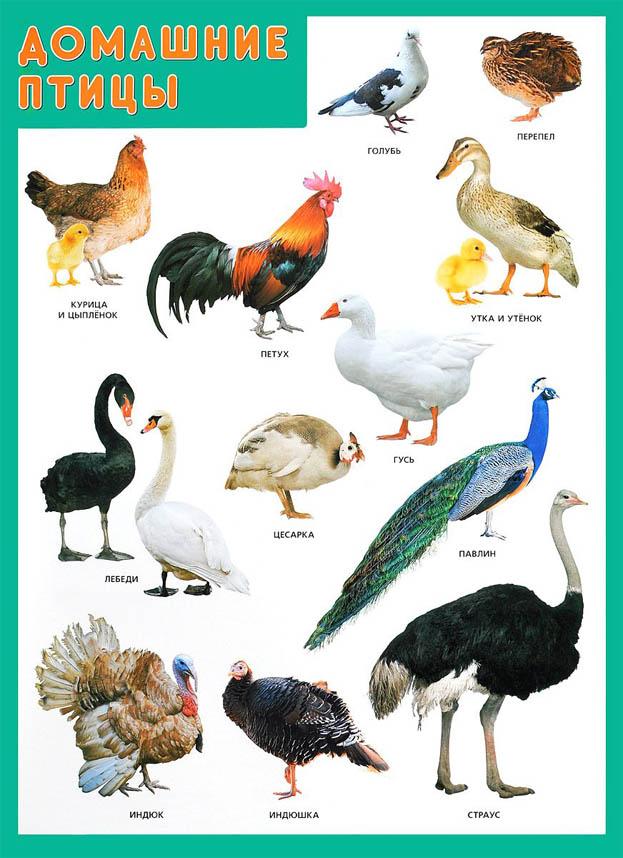 Домашние птицы - картинки для детского сада смотреть бесплатно 4