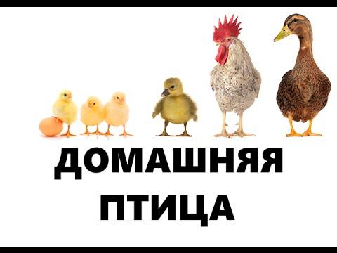 Домашние птицы - картинки для детского сада смотреть бесплатно 6
