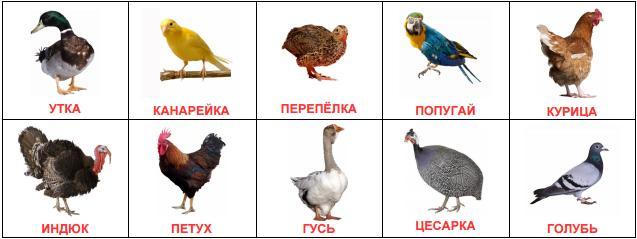 Домашние птицы - картинки для детского сада смотреть бесплатно 7