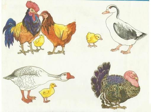 Домашние птицы - картинки для детского сада смотреть бесплатно 8