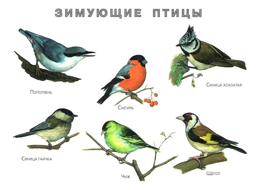 Картинки зимующие птицы - для детского сада красивые, прикольные 17