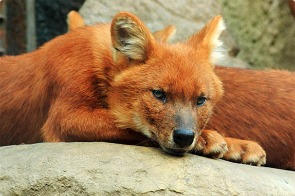 Красный волк - животные красной книги