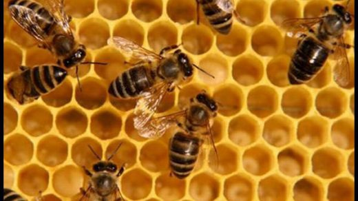 Подмор пчелиный - лечебные свойства и противопоказания, применение 1
