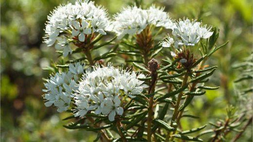 Багульник болотный - лечебные свойства и противопоказания, применение 2