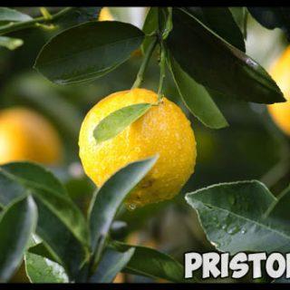 Как вырастить лимон из косточки в домашних условиях - с чего начать 1