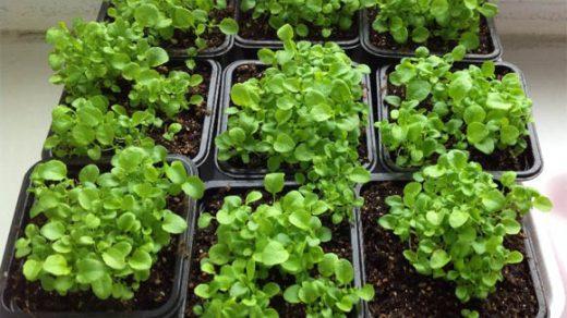 Как вырастить рассаду лобелии в домашних условиях - посадка и уход 2