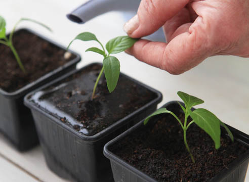 Как вырастить рассаду перца в домашних условиях - уход и посадка 2