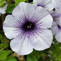 Как вырастить рассаду петунии в домашних условиях - уход и посадка 3