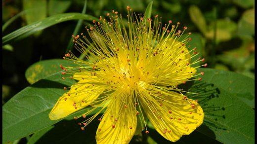 Трава зверобой - лечебные свойства и противопоказания, применение 1