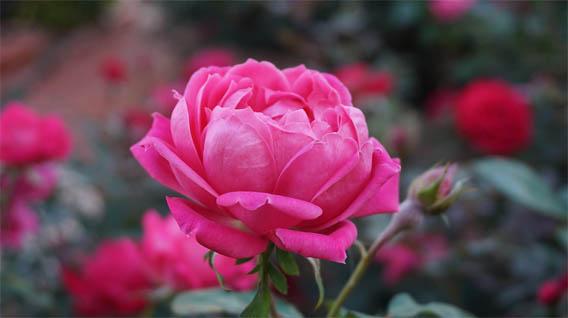 Цветы розы - фото, картинки, красивые, удивительные, интересные 10