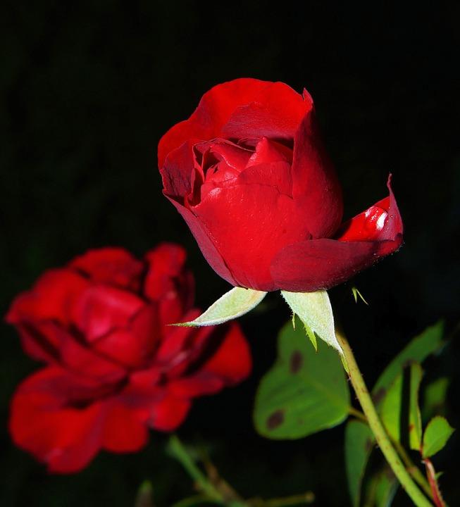 Цветы розы - фото, картинки, красивые, удивительные, интересные 11