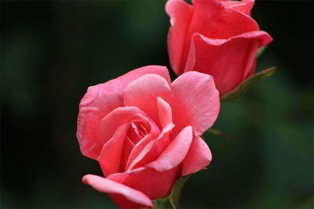 Цветы розы - фото, картинки, красивые, удивительные, интересные 3