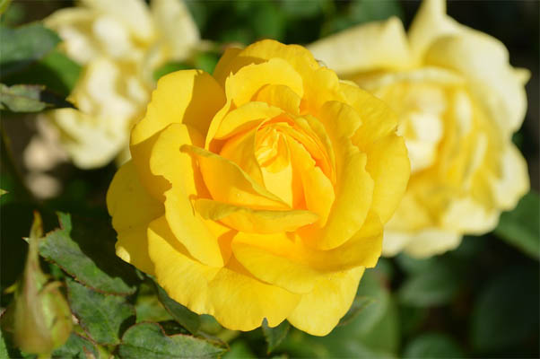 Цветы розы - фото, картинки, красивые, удивительные, интересные 8