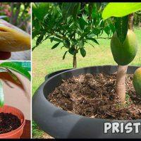 Как вырастить манго из косточки в домашних условиях 1