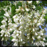 Софора японская - лечебные свойства и противопоказания, применение 1