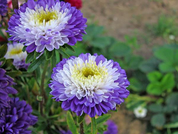 Астры фото цветов - красивые, удивительные, картинки 1