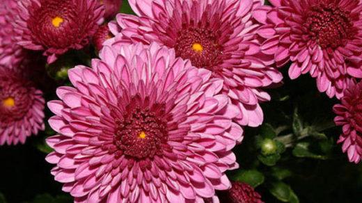 Астры фото цветов - красивые, удивительные, картинки 10