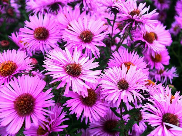 Астры фото цветов - красивые, удивительные, картинки 13