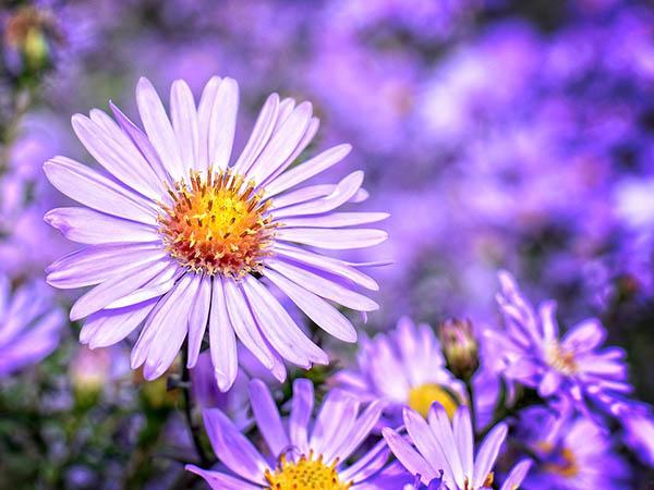 Астры фото цветов - красивые, удивительные, картинки 14