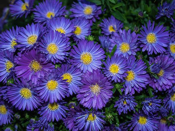 Астры фото цветов - красивые, удивительные, картинки 4