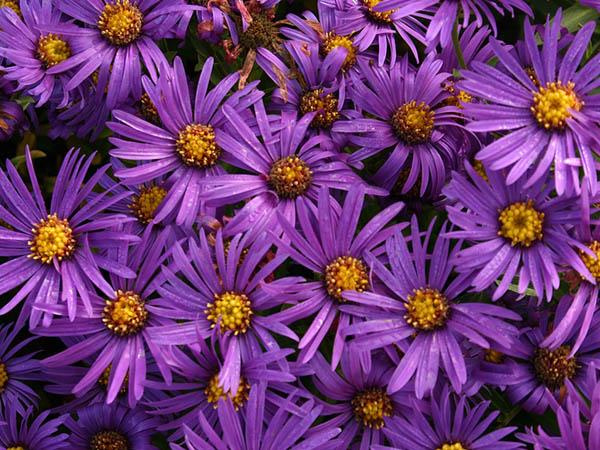 Астры фото цветов - красивые, удивительные, картинки 5