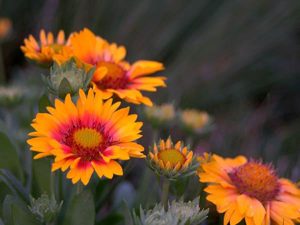 Астры фото цветов - красивые, удивительные, картинки 6