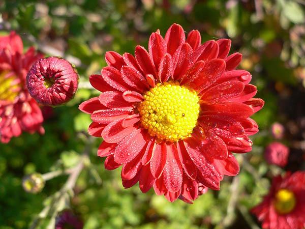 Астры фото цветов - красивые, удивительные, картинки 8