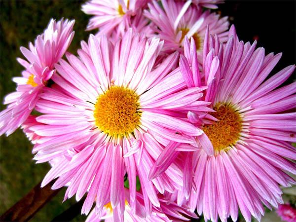 Астры фото цветов - красивые, удивительные, картинки 9