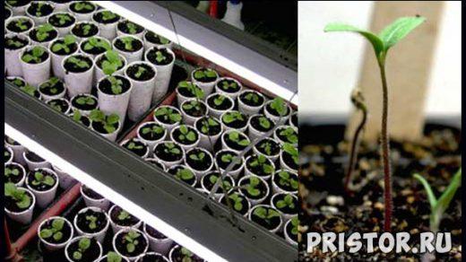 Как вырастить рассаду капусты в домашних условиях - уход и посадка 1