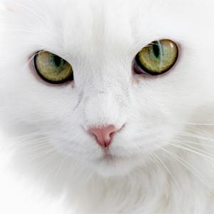 Красивые картинки и фото - белый кот с зелеными глазами 2