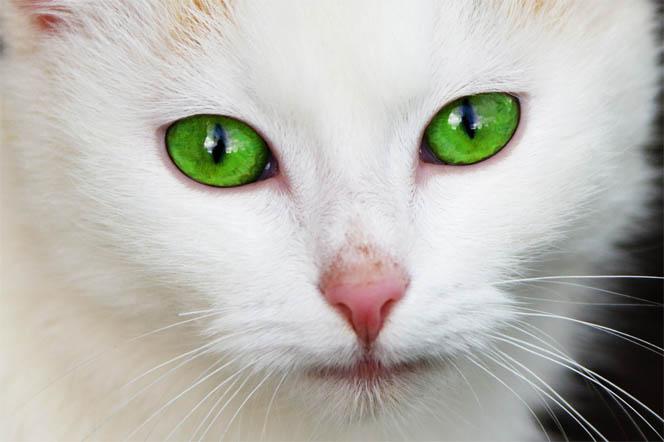 Красивые картинки и фото - белый кот с зелеными глазами 8