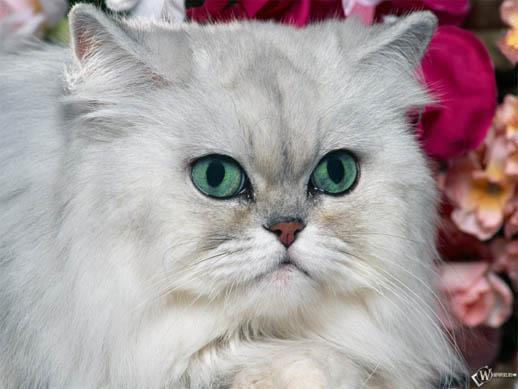 Красивые картинки и фото - белый кот с зелеными глазами 9